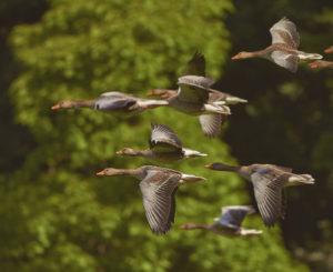 Zugvögel Leadership